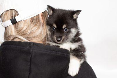 puppy234 week5 BowTiePomsky.com Bowtie Pomsky Puppy For Sale Husky Pomeranian Mini Dog Spokane WA Breeder Blue Eyes Pomskies Celebrity Puppy web7