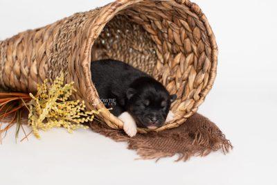 puppy235 week1 BowTiePomsky.com Bowtie Pomsky Puppy For Sale Husky Pomeranian Mini Dog Spokane WA Breeder Blue Eyes Pomskies Celebrity Puppy web1