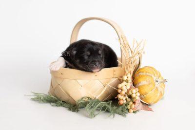 puppy235 week1 BowTiePomsky.com Bowtie Pomsky Puppy For Sale Husky Pomeranian Mini Dog Spokane WA Breeder Blue Eyes Pomskies Celebrity Puppy web4