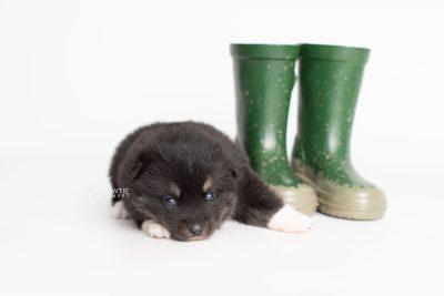 puppy235 week3 BowTiePomsky.com Bowtie Pomsky Puppy For Sale Husky Pomeranian Mini Dog Spokane WA Breeder Blue Eyes Pomskies Celebrity Puppy web4