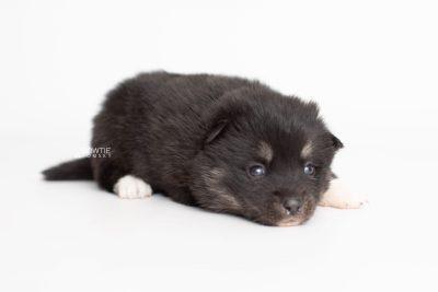 puppy235 week3 BowTiePomsky.com Bowtie Pomsky Puppy For Sale Husky Pomeranian Mini Dog Spokane WA Breeder Blue Eyes Pomskies Celebrity Puppy web6