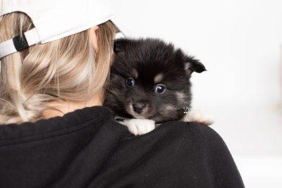 puppy235 week5 BowTiePomsky.com Bowtie Pomsky Puppy For Sale Husky Pomeranian Mini Dog Spokane WA Breeder Blue Eyes Pomskies Celebrity Puppy web7