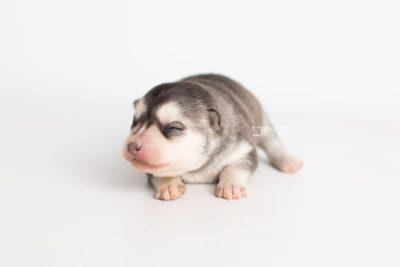 puppy238 week1 BowTiePomsky.com Bowtie Pomsky Puppy For Sale Husky Pomeranian Mini Dog Spokane WA Breeder Blue Eyes Pomskies Celebrity Puppy web4