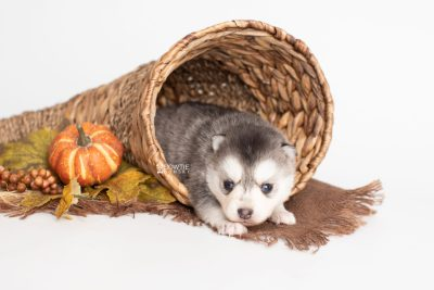 puppy238 week3 BowTiePomsky.com Bowtie Pomsky Puppy For Sale Husky Pomeranian Mini Dog Spokane WA Breeder Blue Eyes Pomskies Celebrity Puppy web2