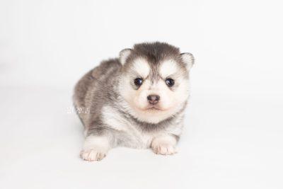puppy238 week3 BowTiePomsky.com Bowtie Pomsky Puppy For Sale Husky Pomeranian Mini Dog Spokane WA Breeder Blue Eyes Pomskies Celebrity Puppy web6