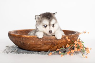 puppy238 week5 BowTiePomsky.com Bowtie Pomsky Puppy For Sale Husky Pomeranian Mini Dog Spokane WA Breeder Blue Eyes Pomskies Celebrity Puppy web2