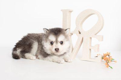 puppy238 week5 BowTiePomsky.com Bowtie Pomsky Puppy For Sale Husky Pomeranian Mini Dog Spokane WA Breeder Blue Eyes Pomskies Celebrity Puppy web6