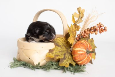 puppy241 week1 BowTiePomsky.com Bowtie Pomsky Puppy For Sale Husky Pomeranian Mini Dog Spokane WA Breeder Blue Eyes Pomskies Celebrity Puppy web2