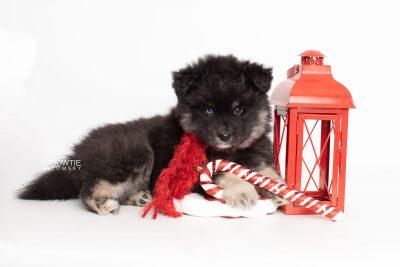 puppy213 week7 BowTiePomsky.com Bowtie Pomsky Puppy For Sale Husky Pomeranian Mini Dog Spokane WA Breeder Blue Eyes Pomskies Celebrity Puppy web1