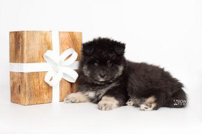 puppy213 week7 BowTiePomsky.com Bowtie Pomsky Puppy For Sale Husky Pomeranian Mini Dog Spokane WA Breeder Blue Eyes Pomskies Celebrity Puppy web4