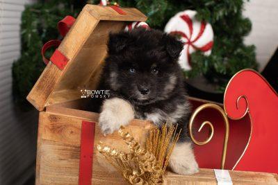 puppy213 week7 BowTiePomsky.com Bowtie Pomsky Puppy For Sale Husky Pomeranian Mini Dog Spokane WA Breeder Blue Eyes Pomskies Celebrity Puppy web5