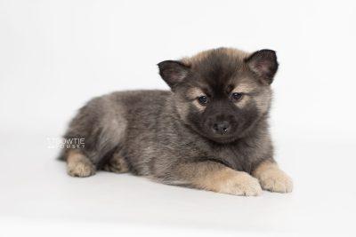 puppy214 week7 BowTiePomsky.com Bowtie Pomsky Puppy For Sale Husky Pomeranian Mini Dog Spokane WA Breeder Blue Eyes Pomskies Celebrity Puppy web5