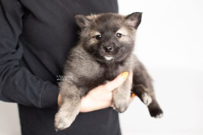 puppy215 week7 BowTiePomsky.com Bowtie Pomsky Puppy For Sale Husky Pomeranian Mini Dog Spokane WA Breeder Blue Eyes Pomskies Celebrity Puppy web6