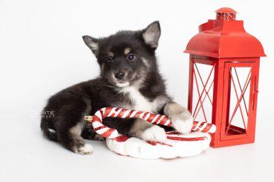 puppy217 week7 BowTiePomsky.com Bowtie Pomsky Puppy For Sale Husky Pomeranian Mini Dog Spokane WA Breeder Blue Eyes Pomskies Celebrity Puppy web1
