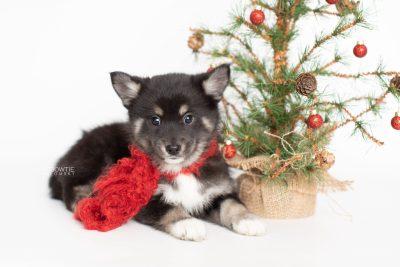 puppy217 week7 BowTiePomsky.com Bowtie Pomsky Puppy For Sale Husky Pomeranian Mini Dog Spokane WA Breeder Blue Eyes Pomskies Celebrity Puppy web3