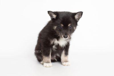 puppy217 week7 BowTiePomsky.com Bowtie Pomsky Puppy For Sale Husky Pomeranian Mini Dog Spokane WA Breeder Blue Eyes Pomskies Celebrity Puppy web6