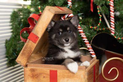 puppy217 week7 BowTiePomsky.com Bowtie Pomsky Puppy For Sale Husky Pomeranian Mini Dog Spokane WA Breeder Blue Eyes Pomskies Celebrity Puppy web9