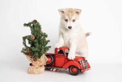 puppy219 week7 BowTiePomsky.com Bowtie Pomsky Puppy For Sale Husky Pomeranian Mini Dog Spokane WA Breeder Blue Eyes Pomskies Celebrity Puppy web3