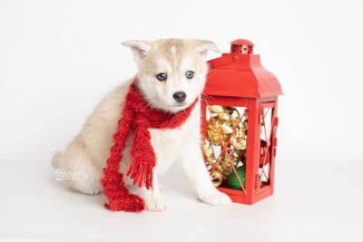 puppy219 week7 BowTiePomsky.com Bowtie Pomsky Puppy For Sale Husky Pomeranian Mini Dog Spokane WA Breeder Blue Eyes Pomskies Celebrity Puppy web5