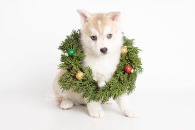 puppy219 week7 BowTiePomsky.com Bowtie Pomsky Puppy For Sale Husky Pomeranian Mini Dog Spokane WA Breeder Blue Eyes Pomskies Celebrity Puppy web6