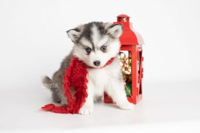 puppy220 week7 BowTiePomsky.com Bowtie Pomsky Puppy For Sale Husky Pomeranian Mini Dog Spokane WA Breeder Blue Eyes Pomskies Celebrity Puppy web4