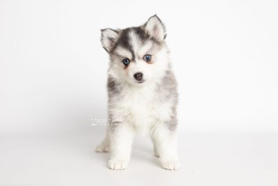puppy220 week7 BowTiePomsky.com Bowtie Pomsky Puppy For Sale Husky Pomeranian Mini Dog Spokane WA Breeder Blue Eyes Pomskies Celebrity Puppy web6
