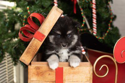 puppy222 week7 BowTiePomsky.com Bowtie Pomsky Puppy For Sale Husky Pomeranian Mini Dog Spokane WA Breeder Blue Eyes Pomskies Celebrity Puppy web1