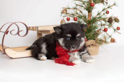 puppy222 week7 BowTiePomsky.com Bowtie Pomsky Puppy For Sale Husky Pomeranian Mini Dog Spokane WA Breeder Blue Eyes Pomskies Celebrity Puppy web2