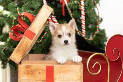 puppy224 week7 BowTiePomsky.com Bowtie Pomsky Puppy For Sale Husky Pomeranian Mini Dog Spokane WA Breeder Blue Eyes Pomskies Celebrity Puppy web1