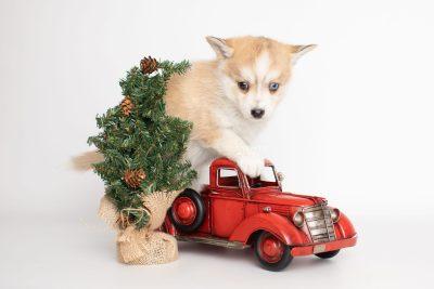 puppy224 week7 BowTiePomsky.com Bowtie Pomsky Puppy For Sale Husky Pomeranian Mini Dog Spokane WA Breeder Blue Eyes Pomskies Celebrity Puppy web3