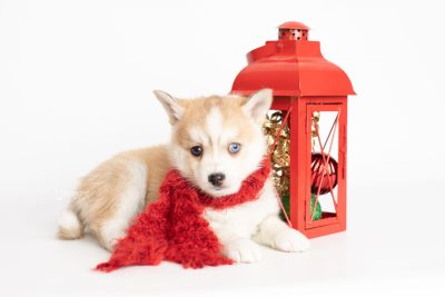 puppy224 week7 BowTiePomsky.com Bowtie Pomsky Puppy For Sale Husky Pomeranian Mini Dog Spokane WA Breeder Blue Eyes Pomskies Celebrity Puppy web4