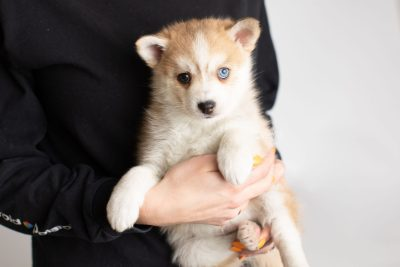 puppy224 week7 BowTiePomsky.com Bowtie Pomsky Puppy For Sale Husky Pomeranian Mini Dog Spokane WA Breeder Blue Eyes Pomskies Celebrity Puppy web7