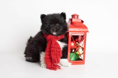 puppy225 week7 BowTiePomsky.com Bowtie Pomsky Puppy For Sale Husky Pomeranian Mini Dog Spokane WA Breeder Blue Eyes Pomskies Celebrity Puppy web3