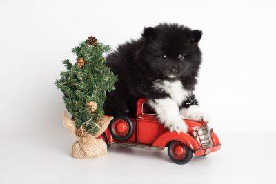 puppy225 week7 BowTiePomsky.com Bowtie Pomsky Puppy For Sale Husky Pomeranian Mini Dog Spokane WA Breeder Blue Eyes Pomskies Celebrity Puppy web5