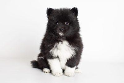 puppy225 week7 BowTiePomsky.com Bowtie Pomsky Puppy For Sale Husky Pomeranian Mini Dog Spokane WA Breeder Blue Eyes Pomskies Celebrity Puppy web7