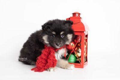 puppy226 week7 BowTiePomsky.com Bowtie Pomsky Puppy For Sale Husky Pomeranian Mini Dog Spokane WA Breeder Blue Eyes Pomskies Celebrity Puppy web2