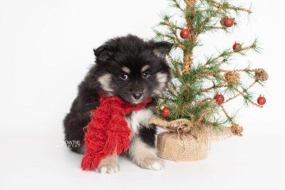 puppy226 week7 BowTiePomsky.com Bowtie Pomsky Puppy For Sale Husky Pomeranian Mini Dog Spokane WA Breeder Blue Eyes Pomskies Celebrity Puppy web3