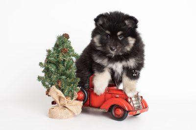 puppy226 week7 BowTiePomsky.com Bowtie Pomsky Puppy For Sale Husky Pomeranian Mini Dog Spokane WA Breeder Blue Eyes Pomskies Celebrity Puppy web4