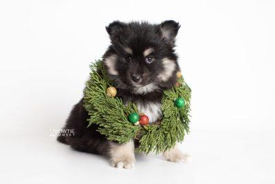 puppy226 week7 BowTiePomsky.com Bowtie Pomsky Puppy For Sale Husky Pomeranian Mini Dog Spokane WA Breeder Blue Eyes Pomskies Celebrity Puppy web5