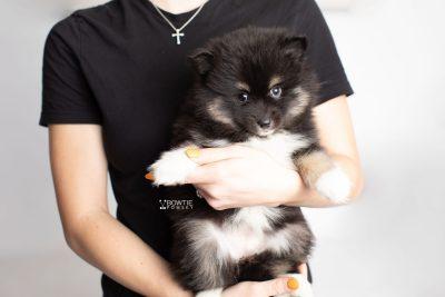 puppy227 week7 BowTiePomsky.com Bowtie Pomsky Puppy For Sale Husky Pomeranian Mini Dog Spokane WA Breeder Blue Eyes Pomskies Celebrity Puppy web8