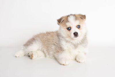 puppy230 week7 BowTiePomsky.com Bowtie Pomsky Puppy For Sale Husky Pomeranian Mini Dog Spokane WA Breeder Blue Eyes Pomskies Celebrity Puppy web6