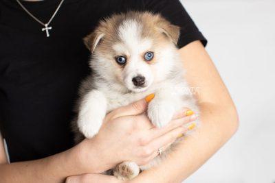 puppy230 week7 BowTiePomsky.com Bowtie Pomsky Puppy For Sale Husky Pomeranian Mini Dog Spokane WA Breeder Blue Eyes Pomskies Celebrity Puppy web7