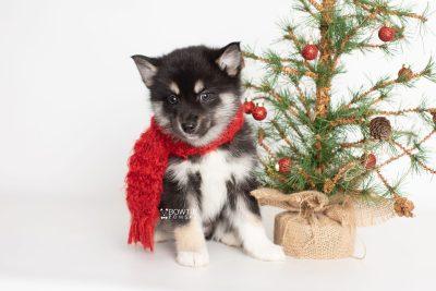 puppy234 week7 BowTiePomsky.com Bowtie Pomsky Puppy For Sale Husky Pomeranian Mini Dog Spokane WA Breeder Blue Eyes Pomskies Celebrity Puppy web5