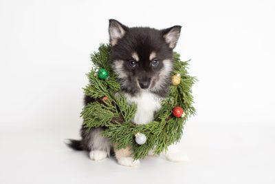puppy234 week7 BowTiePomsky.com Bowtie Pomsky Puppy For Sale Husky Pomeranian Mini Dog Spokane WA Breeder Blue Eyes Pomskies Celebrity Puppy web7