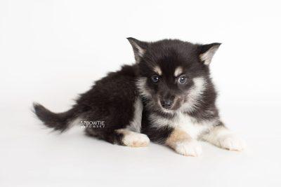 puppy234 week7 BowTiePomsky.com Bowtie Pomsky Puppy For Sale Husky Pomeranian Mini Dog Spokane WA Breeder Blue Eyes Pomskies Celebrity Puppy web8