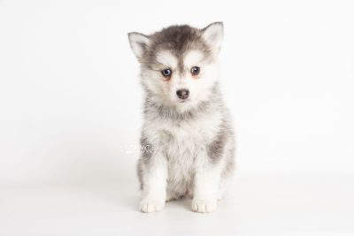 puppy238 week7 BowTiePomsky.com Bowtie Pomsky Puppy For Sale Husky Pomeranian Mini Dog Spokane WA Breeder Blue Eyes Pomskies Celebrity Puppy web7