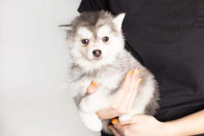 puppy238 week7 BowTiePomsky.com Bowtie Pomsky Puppy For Sale Husky Pomeranian Mini Dog Spokane WA Breeder Blue Eyes Pomskies Celebrity Puppy web8
