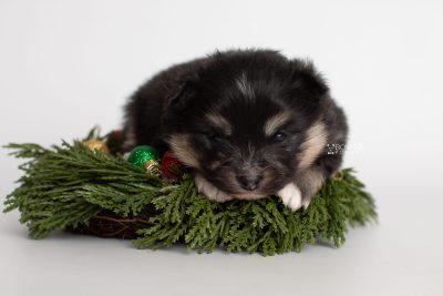 puppy241 week3 BowTiePomsky.com Bowtie Pomsky Puppy For Sale Husky Pomeranian Mini Dog Spokane WA Breeder Blue Eyes Pomskies Celebrity Puppy web4