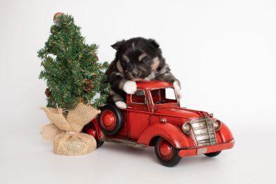puppy241 week3 BowTiePomsky.com Bowtie Pomsky Puppy For Sale Husky Pomeranian Mini Dog Spokane WA Breeder Blue Eyes Pomskies Celebrity Puppy web8