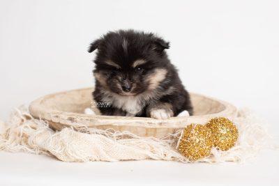 puppy241 week5 BowTiePomsky.com Bowtie Pomsky Puppy For Sale Husky Pomeranian Mini Dog Spokane WA Breeder Blue Eyes Pomskies Celebrity Puppy web2